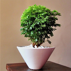 air purifying plants nursery, aralia air purifying plants, aralia air purifying plants nursery, delhi, india