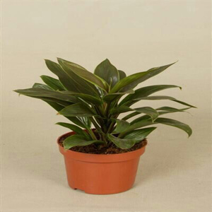 air purifying plants nursery, cordyline air purifying plants, cordyline air purifying plants nursery, delhi, india