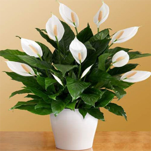 air purifying plants nursery, peace lily air purifying plants, peace lily air purifying plants nursery, delhi, india