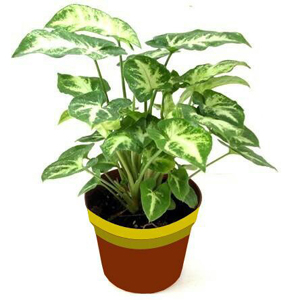 air purifying plants nursery, syngonium air purifying plants, syngonium air purifying plants nursery, delhi, india