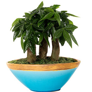 Bonsai Plants Dealer, Bonsai Plants Suppliers, Bonsai plant showroom in delhi, india